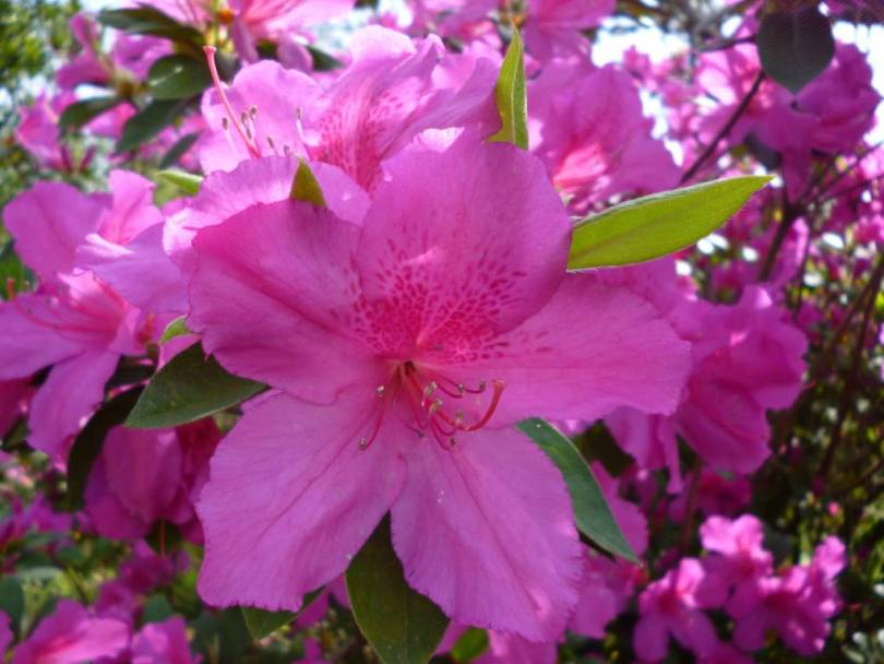 Mind Blowing Pink Azalea Flower With Green Leafs