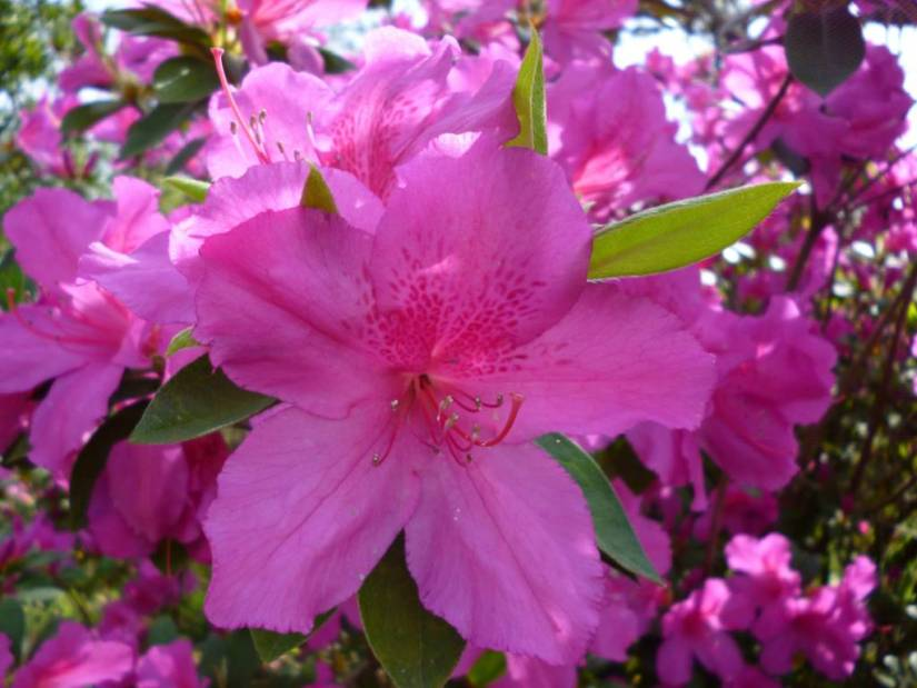 Mind Blowing Pink Azalea Flower With Green Leafs