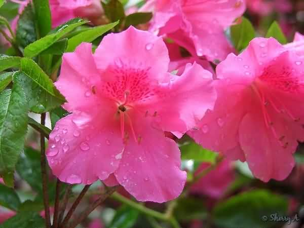 Mind Blowing Pink Azalea Flowers For Wallpaper