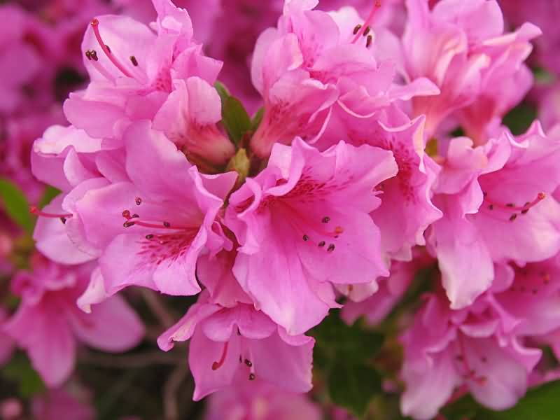 Mind Blowing Pink Azalea Flowers For Wedding Decoration