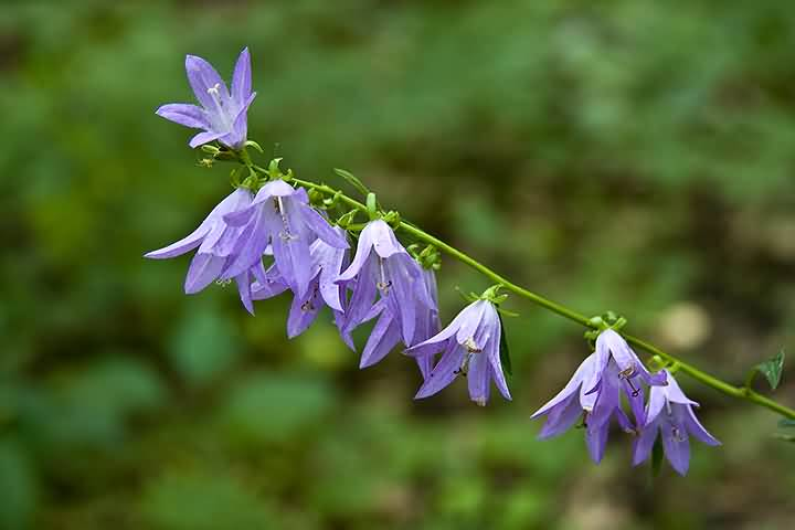 Mind Blowing Purple Bellflower With Green Background