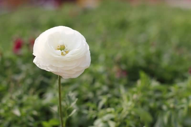 Mind Blowing White Persian Buttercup Flower With Beautiful Nature