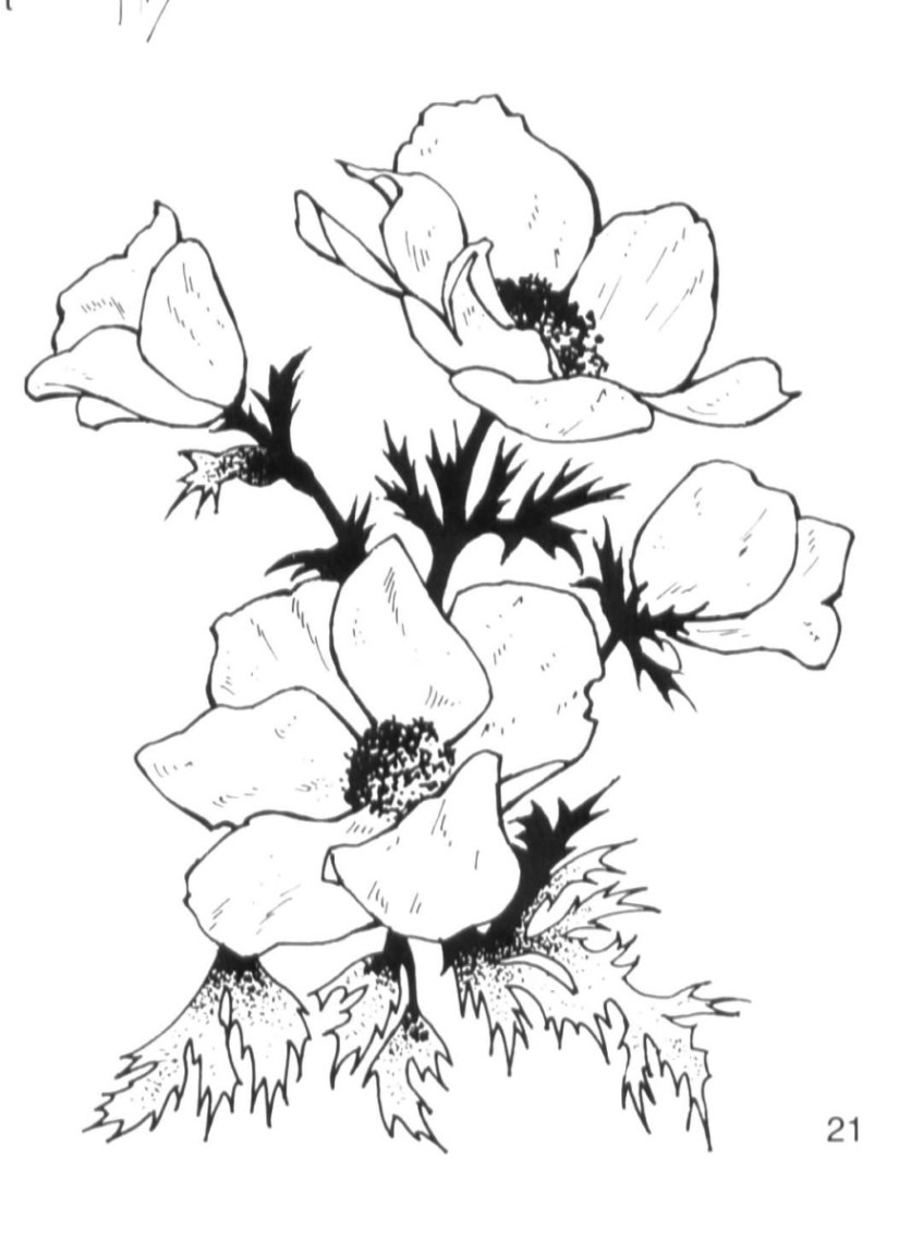 Most Beautiful Black And White Flower Anemone  Hd Wallpaper