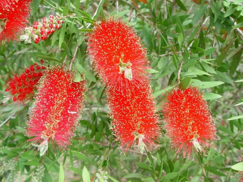 Most Beautiful Bottle Brush Flower With Green Leafs