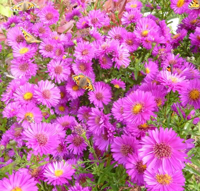 Most Beautiful Butterflies Sitting Lovely Pink Aster Flowers Best For Desktop Wallpaper