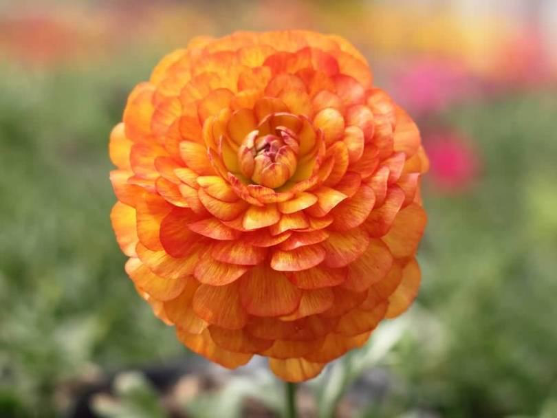 Most Beautiful Orange Persian Buttercup Flower Wallpaper