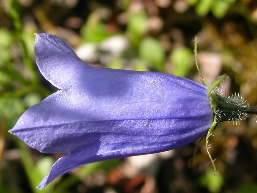 Most Beautiful Purple Bellflower With Beautiful Background