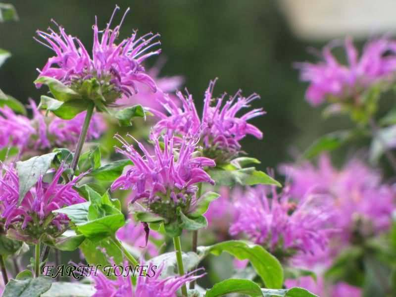 Most Beautiful Purple Bergamot Flowers With Green Combination