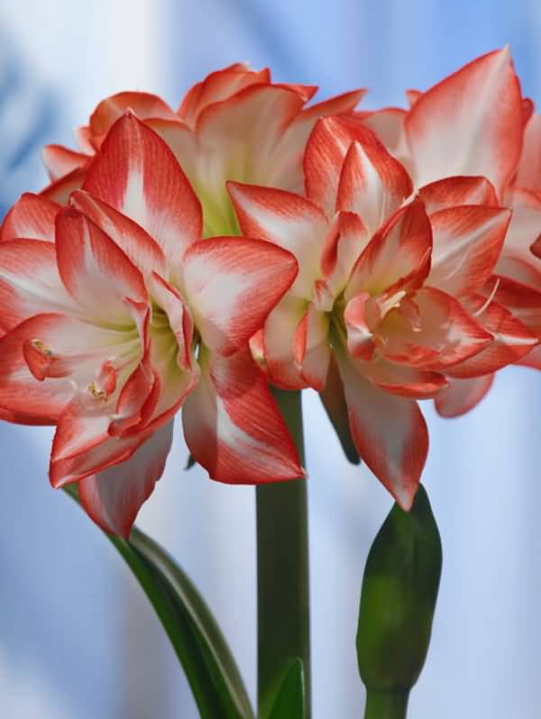 Most Beautiful Red And White Amaryllis Flowers