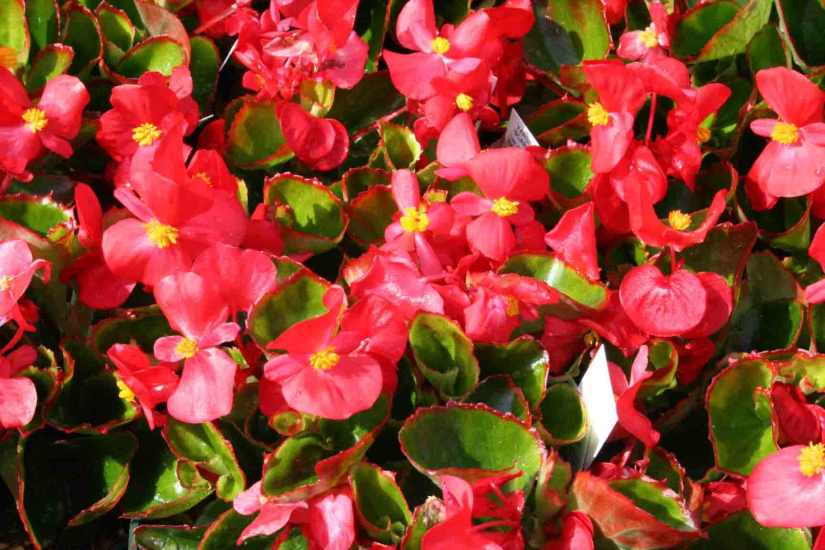 Most Beautiful Red Begonia Flower Plant Wallpaper