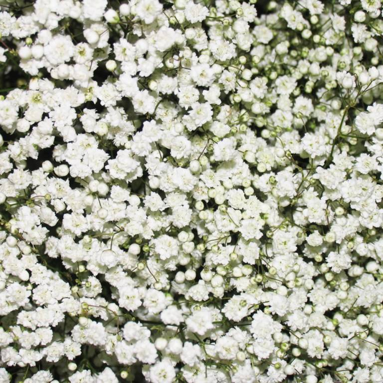 Most Beautiful White Baby's Breath Flowers For Wedding