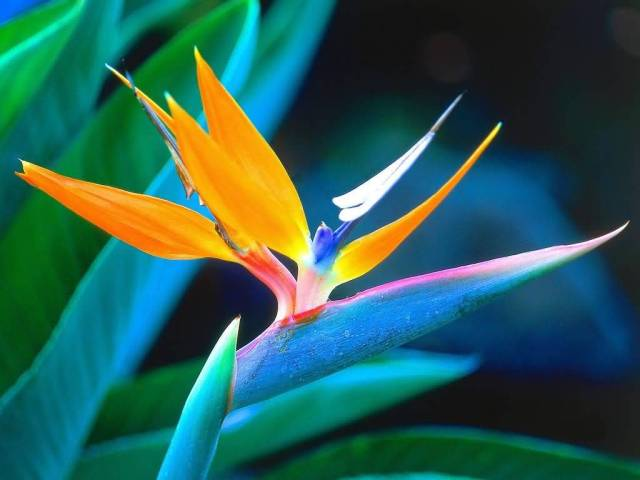 Nice Colorful Elegant Bird Of Paradise Flower Plant With Beautiful Background