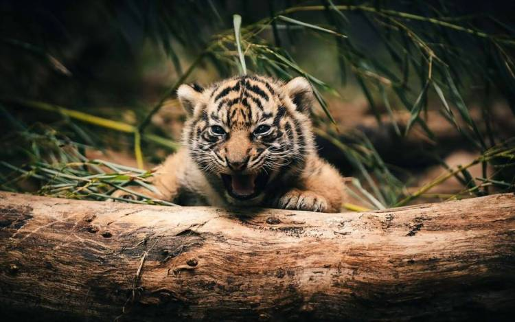 Nice Very Cute Little Tiger On A Large Branch Full Hd Wallpaper