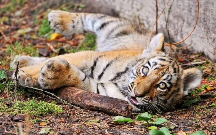 Nice Cute Tiger Seems Asleep Or Awake Full Hd Wallpaper