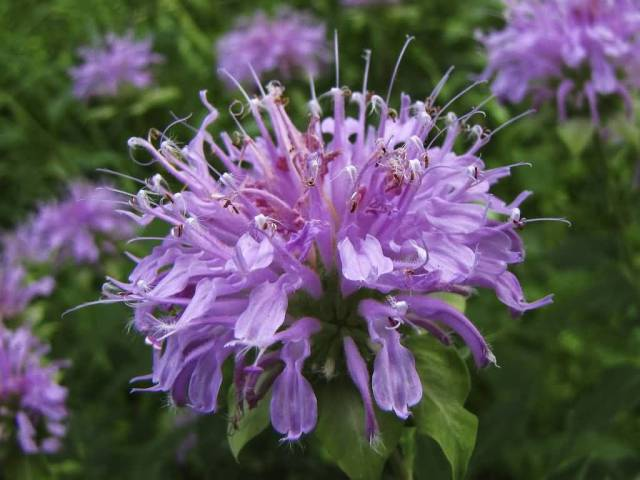 Out Standing Many Purple Bergamot Flowers Plant With Green Leafs