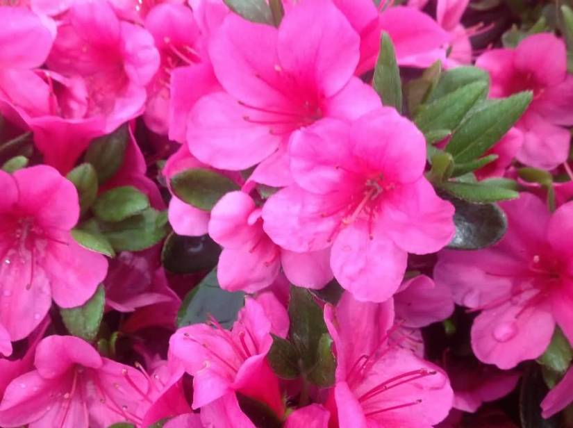 Out Standing Pink Azalea Flowers For Decoration