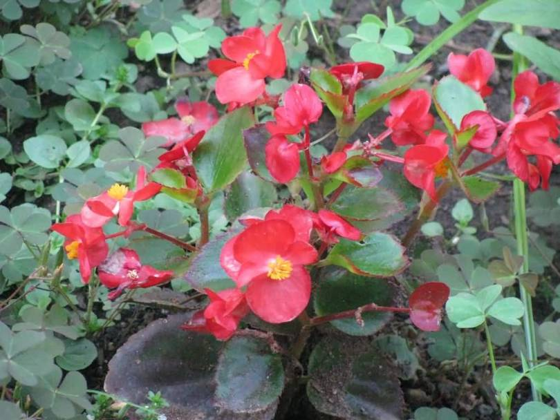 Out Standing Red Begonia Flower Plant With Green Leafs