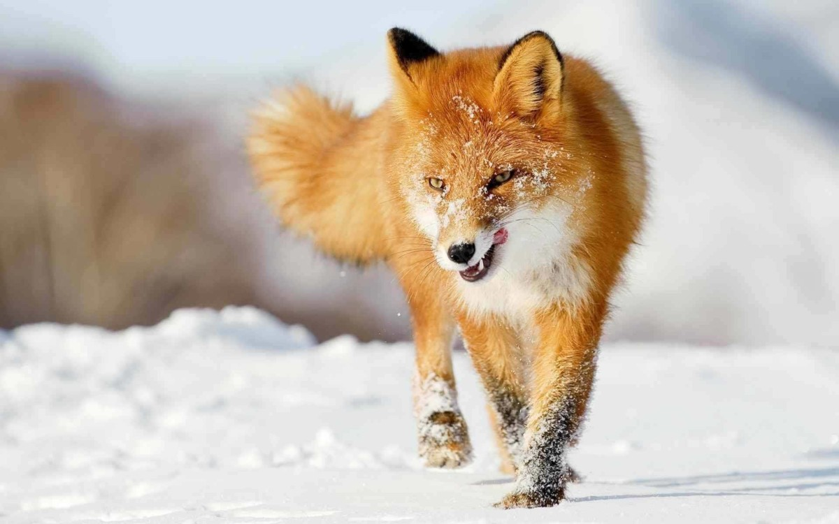 red fox in snow - photo #22