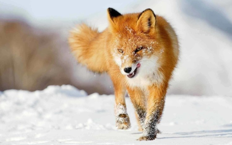 Red Fox And Snow Together Full Hd Wallpaper