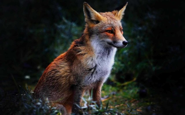 Red Fox In The Woods Looking At Other Side 4k Wallpaper