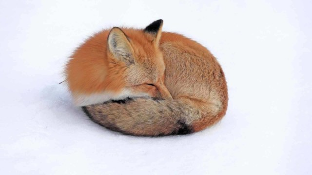 Red Fox Sleeping On The Snow Full Hd Wallpaper
