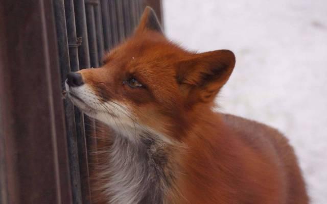 Red Smart Fox Finding Something 4k Wallpaper