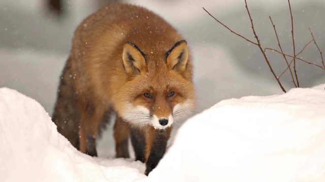 Red Wild Fox Walks Between The Snow Full Hd Wallpaper