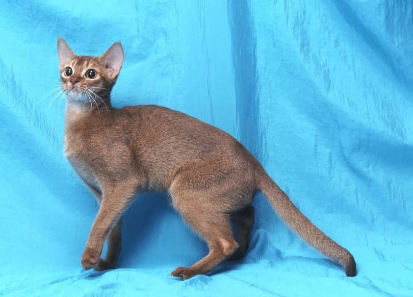 Shocked brown beautiful Abyssinian Cats Looking For Food