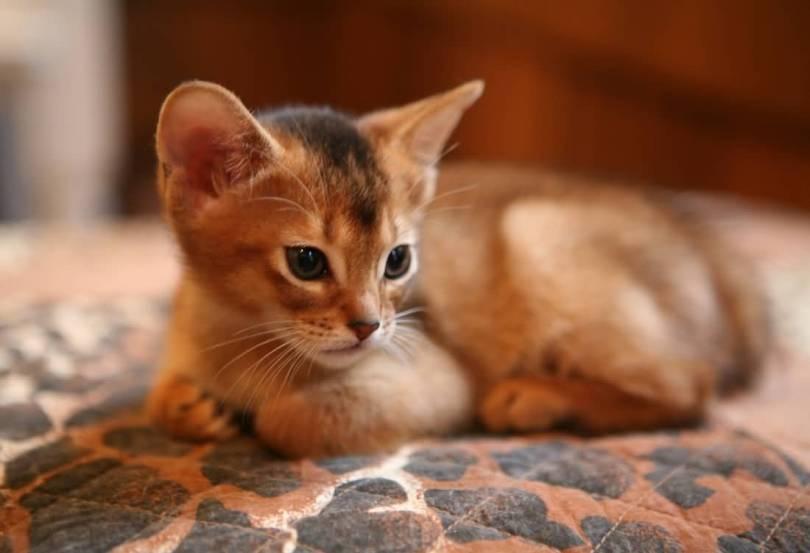 Small brown Abyssinian Cats Kitten Sitting On Bed and looking for milk