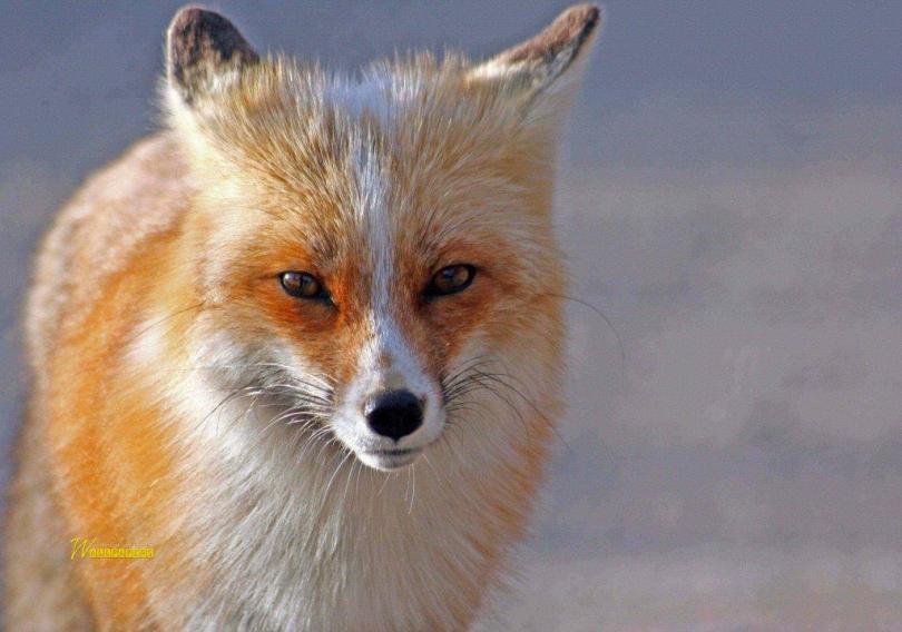 So Beautiful Wonderful Fox Hd Wallpaper