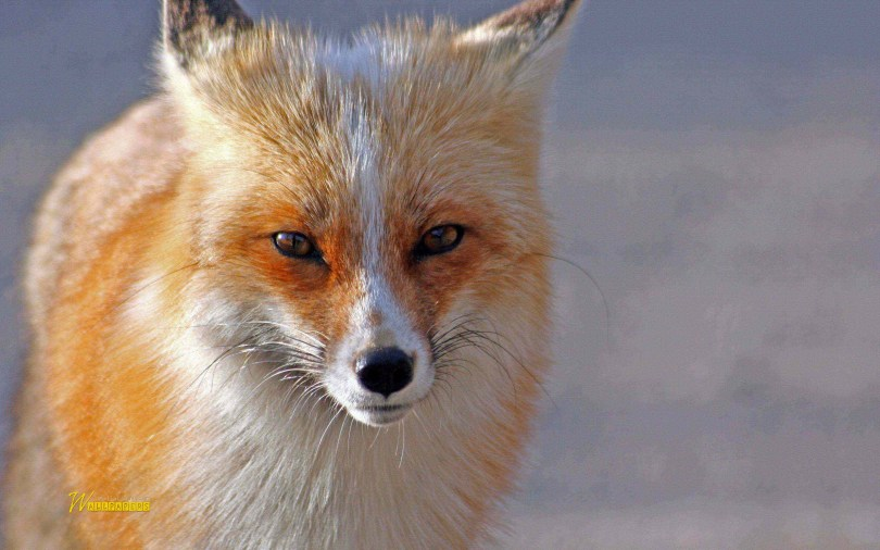 so-beautiful-wonderful-fox-hd-wallpaper