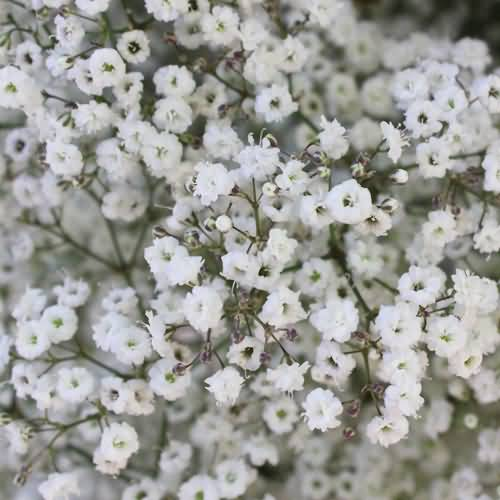 Stunning Baby's Breath Flowers For Wedding