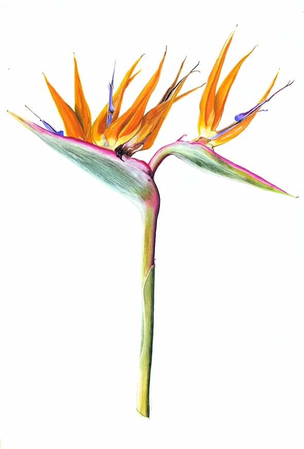 Stunning Bird Of Paradise Flower Sketch Wallpaper