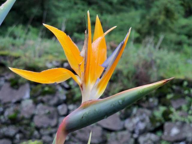 Stunning Orange Bird Of Paradise Flower Plant With Green Background