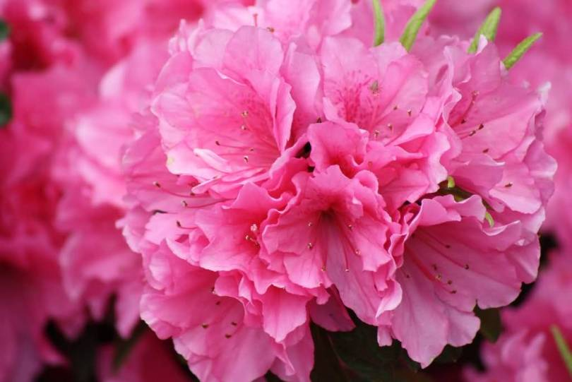 Stunning Pink Azalea Flower For Wedding Decoration