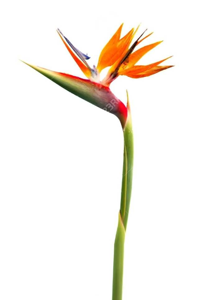 Stunning Red Bird Of Paradise Flower Plant Wallpaper