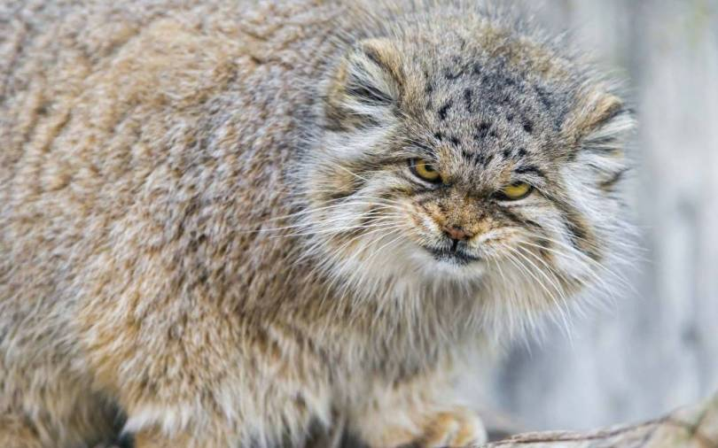 Stunningly angry Paellas Cat Full Hd Wallpaper