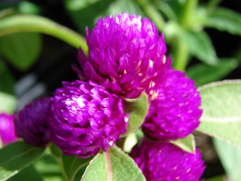 Sweet Purple Globe Amaranth Flowers With Beautiful Leaf Image