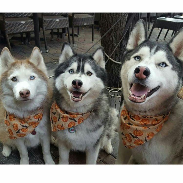 Three Best Friend Husky Dog Ready For Celebrate Halloween
