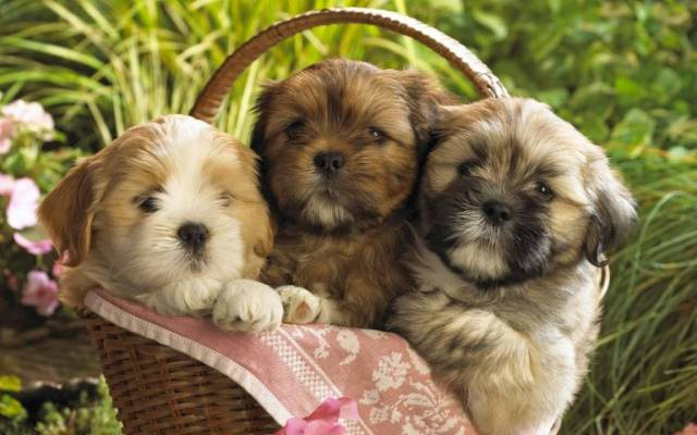 Three Small Dogs In A Basket 4k Wallpaper