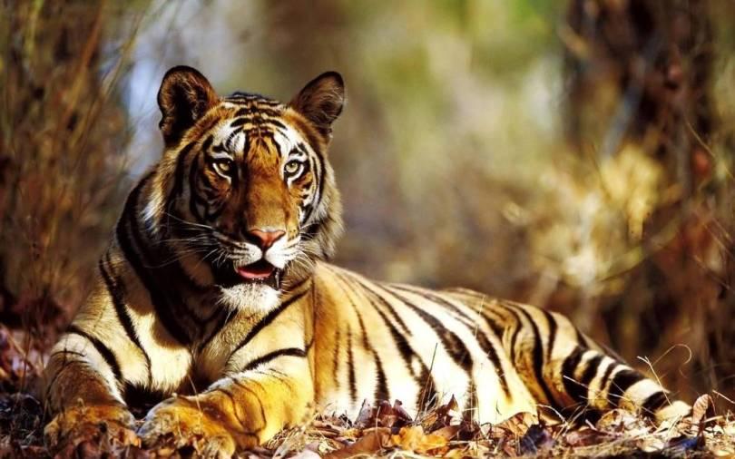 Tiger On The Autumn Leaf Full HD Wallpaper