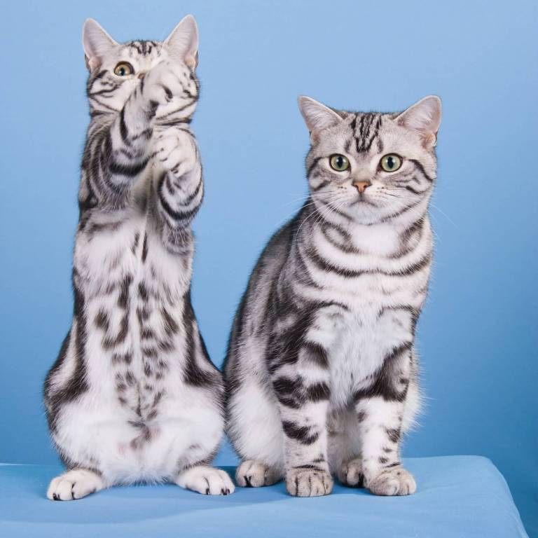 Two very beautifull American Shorthair Cat With Colorful nice Eyes
