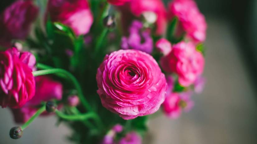Unique Pink Persian Buttercup Bouquet For Decoration