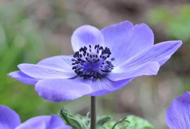 Unique Purple Anemone Flower Wallpaper