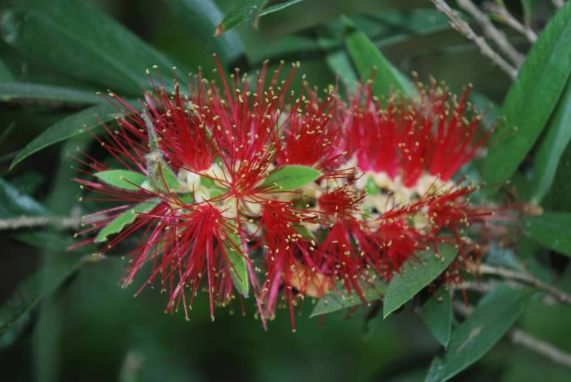 Unique Red Bottle Brush Flower With Green Leafs