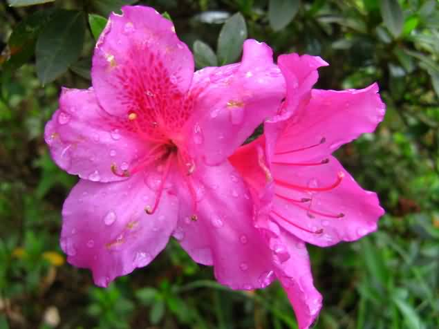 Unique Water Pink Azalea Flowers Drop On Flower