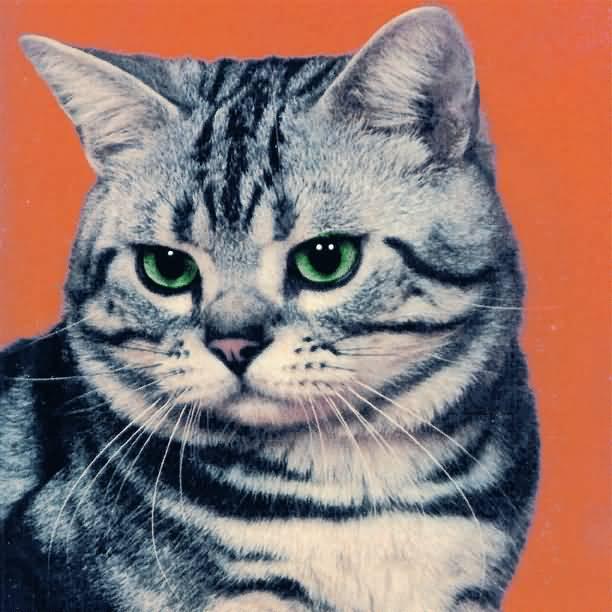 Very Beautiful American Shorthair Cat With nice Green Eyes