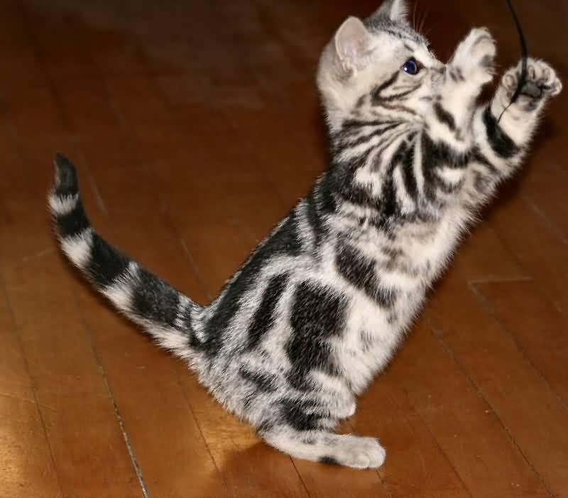 Very Cute Small American Shorthair Cat