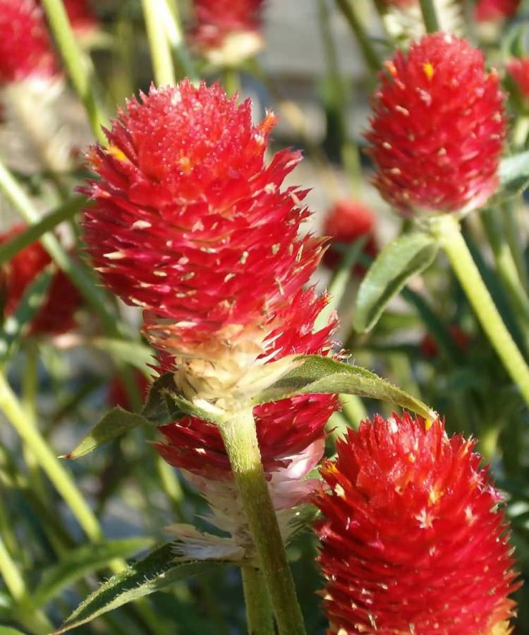 Very Nice Red Globe Amaranth Flower Plant Collection