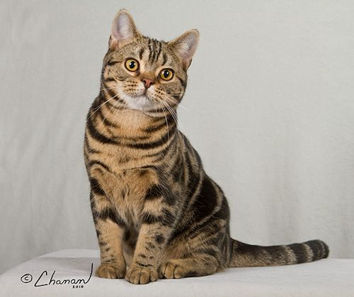 Very beautiful Brown American Shorthair Cat With nice Hairs